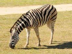 Michael the Zebra