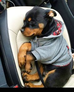 Some of the things I enjoy about the Calm Rottweiler Pup Rottweiler Love, Rottweiler Puppies, German Rottweiler, Rottweiler Pictures, Rottweiler Facts, Rottweiler Training, Cute Dogs And Puppies, I Love Dogs, Doggies