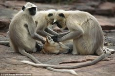 Monkeys in India grooming a street dog....