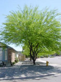 5 gal Prosopis chilensis, Chilean Mesquite. $45.99. 30 x 30. semi-evergreen.