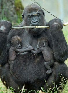 Gorilla Mom and Twins