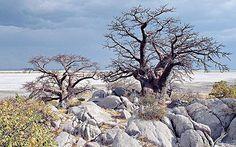 Baobab Trees among the rocks on the Makadikadi Salt Pans in Botswana  Google Image Result for http://i.telegraph.co.uk/multimedia/archive/01744/boabob_1744737c.jpg