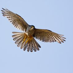 """New Zealand falcon or kārearea """"saw a young hawk flyin' and my soul began to rise""""  Thank you Mr Bob Seger"""