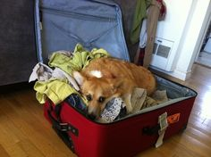 Corgis are better than the TSA at checking baggage since they are committed enough to become one with the suitcase itself. #corgi