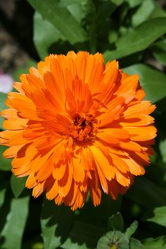 Calendula Goudsbloem - edible flower that not only adds color to the vegetable garden but can also help prevent nasty squash bugs from attacking the veggies. Calendula, Ficus, Home Grown Vegetables, Veggies, Cottage Garden Plants, California Poppy, My Flower, Birth Flower, Companion Planting