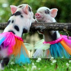 Ok, pigs are always adorable. Throw them in tutu's and it just throws the cute over the radar.