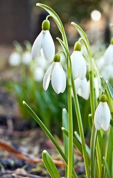 The snowdrop does not wait for spring to bloom: its small white flowers, in bells, are able to pierce a thin snowpack. Plants, Foliage, Plant Species, Vegetation, Bulbous Plants, Foliage Plants, Small White Flowers, Beautiful Flowers, Garden Plants