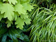 Perfect for a shady spot - holly fern, Japanese forest grass and 'Limelight' oakleaf hydrangea. Design by Alyson Ross-Markley  Who doesn't like a grass that can handle a little shade?