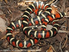 The Arizona Mountain Kingsnake pictured above is one of the non-poisonous tri-colored snakes that resemble the coral snake, but a close examination reveals that the red and light bands are always separated by black bands.