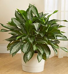 Chinese evergreen.  pretty. - for my east facing bay window
