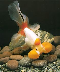 Bubble-eyed goldfish. Imagine having to go your whole life looking like this. The other goldfish would probably laugh at you.
