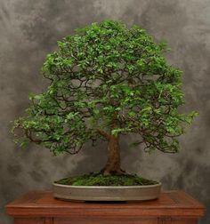 los-mejores-arboles-para-bonsais-11