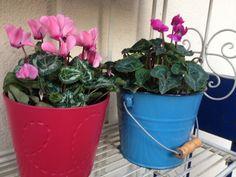 ciclamino @oltreilbalcone #flower #fiori #giardinaggio #green #pinkinside #oltreilbalcone #garden #color