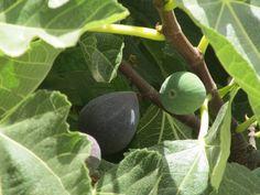 Figs yummy