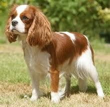cavalier king charles spaniel grooming styles pictures - Google Search