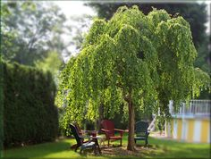 Weeping katsura tree (Cercidiphyllum japonicum 'Pendula'). Elegant weeping habit. Heart-shaped leaves turn a rich yellow in fall. A bit expensive and hard to find sometimes, but makes a wonderful specimen — especially near a water garden.  20′ x 25′. Sun or part shade.