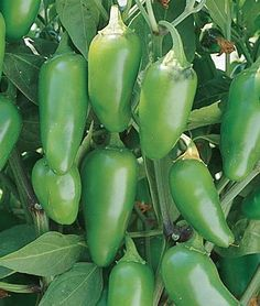 Grow Jalapeno Pepper Plants - They have  the distinction of being one of the most adaptable pepper plants around. They can be grown in dry or humid conditions, cold or hot; the Jalapeno Pepper plant will grow just about anywhere. Obviously great to eat too!