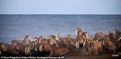 In September 13, walruses gather to rest on the shores of the Chukchi Sea near the coastal village of Point Lay, Alaska.  The U.S. Fish and Wildlife Service has obtained a $140,000 grant from the National Fish and Wildlife Foundation to help Point Lay tell the world that walrus are vulnerable to stampedes and to stay away when they're on shore