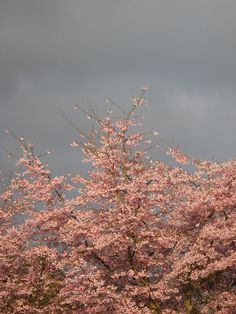 Blossoms and Grey Sky-picture by Lucy Rust