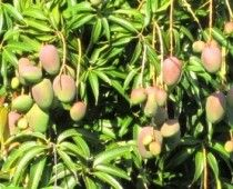 Mango Season in Miami. Article and slide show.