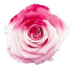 "Preserved Akari Rose Heads in Two Tone Pink 6 Blooms per Box Approximately 2.5"" Diameter"