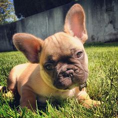 <b>Hey everyone, here's a baby Frenchie you need in your life.</b>