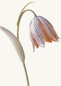 Rory McEwen's botanical art goes on display - Telegraph