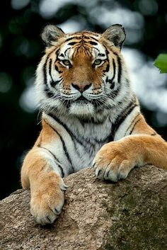 The majestic Indochinese Tiger. Classified endangered, fewer than 300 are left.The majestic Indochinese Tiger. Classified endangered, fewer than 300 are left. Tiger Pictures, Animal Pictures, Beautiful Cats, Animals Beautiful, Big Cats, Cats And Kittens, Cats Bus, Animals And Pets, Cute Animals