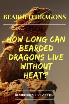 How Long Can Bearded Dragons Live Without Heat? Informations About How Long Can Bear Bearded Dragon Funny, Bearded Dragon Cage, Bearded Dragon Habitat, Bearded Dragon Substrate, Bearded Dragon Lighting, Dragon Facts, Beard Tips, Beard Ideas, Pet Dragon