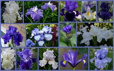 TALL BEARDED IRIS AND COMPANION PLANTS - Sowing the Seeds