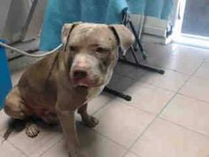 #A4789167 I'm an approximately 2 years, 6 month old male pit bull. I am not yet neutered. I have been at the Carson Animal Care Center since January 5, 2015. I will be available on January 15, 2015. You can visit me at my temporary home at C336. Carson Shelter, Gardena, California https://www.facebook.com/171850219654287/photos/pb.171850219654287.-2207520000.1420500665./355864231252884/?type=3&theater