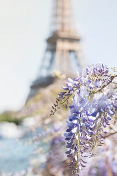 Paris Fine Art Photograph Eiffel Tower with Wisteria Blossoms Photographed on May Day, 2016, with newly blooming wisteria along the Seine on a