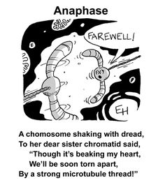 Download the images for this post.     Here's the third in the series of mitosis limericks (see my previous posts on prophase and metaph...