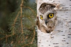 Saw Whet Owl by mikelentzimages, via Flickr