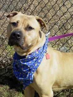 Petango.com – Meet Hunter 108, a 1 year 7 months Terrier, American Pit Bull / Mix available for adoption in CLEVELAND, OH