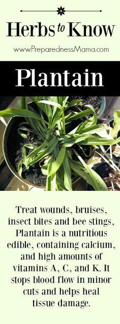 Herbs to Know: Plantain - I urge you to resist the urge to kill it   PreparednessMama