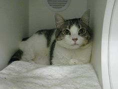 Such a beautiful little girl who's been abandoned in a kill shelter. So so sad! Please save her tonight! TO BE DESTROYED 8/31/13 Brooklyn Center  MOLLY. My Animal ID # is A0974372. I'm Spayed female brn tabby white domestic sh mix. The shelter thinks I am about 2 YEARS  I came in the shelter as a OWNER SUR on 08/06/2013 from NY 10467, owner surrender reason stated was ABANDON. https://www.facebook.com/photo.php?fbid=657225490955953=a.576546742357162.1073741827.155925874419253=3