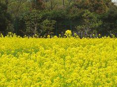 長居植物園の菜の花畑。