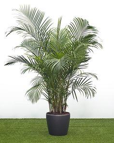 Chrysalidocarpus lutescens in classico self watering