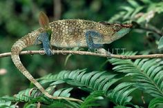 Colorful Chameleons, sexual dichromatism;  1. Blue-Legged (Calumma crypticum) - Native to the tropical forests of Madagascar, the male of this species exhibits more intense color.  The male's horn is also larger.