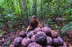 Inthe Brazil nut forests of the Peruvian Amazon, scientists from theCenter for International Forestry Research (CIFOR)are trying to resolve a controversial question: can selective timber harvesting coexist with Brazil nut production?