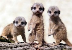 ForAnimalLover: Adorable meerkat babies take their first 'seemples' steps into the public eye