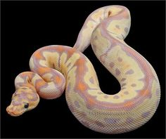 Constrictors Unlimited- Python regius -Banana Clown Ball Python