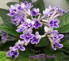 #AVSA #Africanviolet #saintpaulia #africanvioletsocietyofamerica #Africanviolets #violetoftheday #violets #geneseriads #gesneriaceae