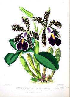 Botanical - Flower - Orchid - Dark purple looking black