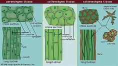 biology plants parenchyma, collenchyma, s - biology Biology Lessons, Science Biology, Life Science, Science And Nature, Biology Art, Cell Biology Notes, Biology Revision, Tissue Biology, Nature