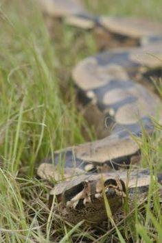 PEDRO HITOMI OSERA: Que tal ter uma cobra como animal de estimação?