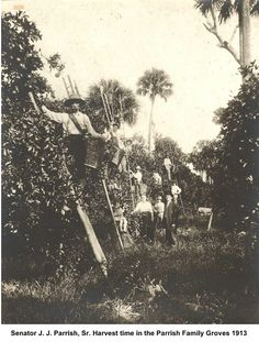 Harvest time in the Parrish Family Groves - 1913.