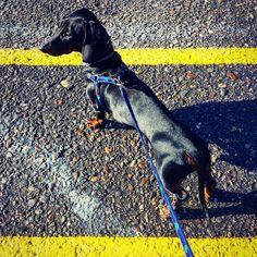 Wonna race? Charli the speedster! #carli #jazavicar #dachshundsofinstagram #dachshund #race #dog #blackandyellow