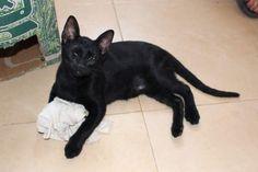 GORKA - Gato adoptado - AsoKa el Grande
